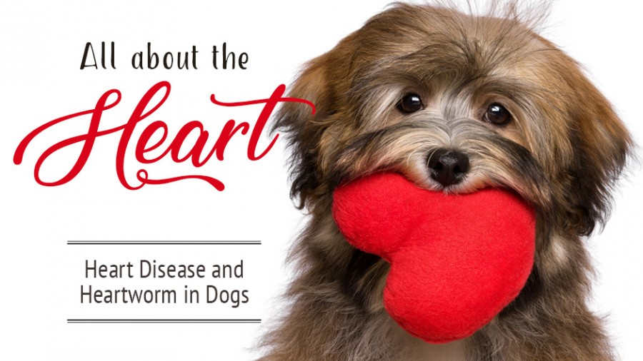 All About the Heart (Heart Disease & Heartworm in Dogs)