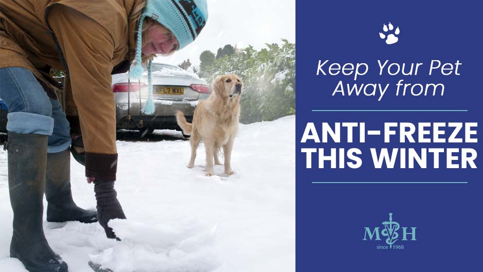 Keep Your Pet Away from Antifreeze This Winter