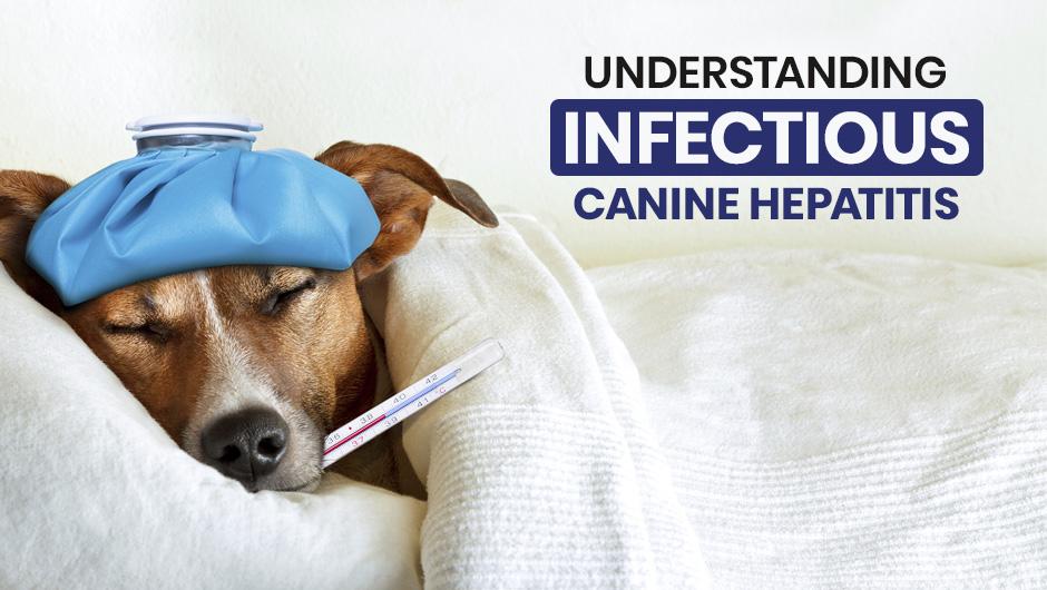 Understanding Infectious Canine Hepatitis