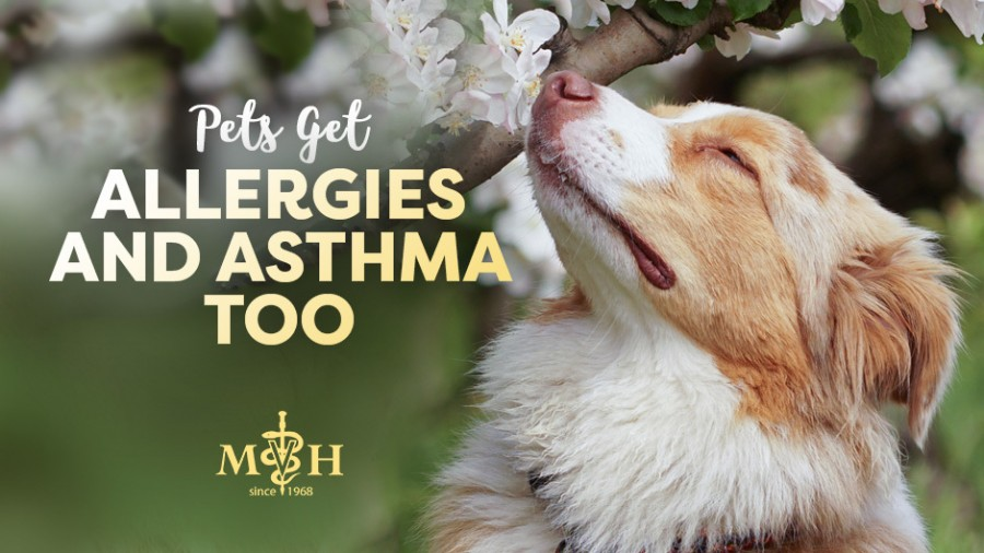 Pets Get Allergies and Asthma Too