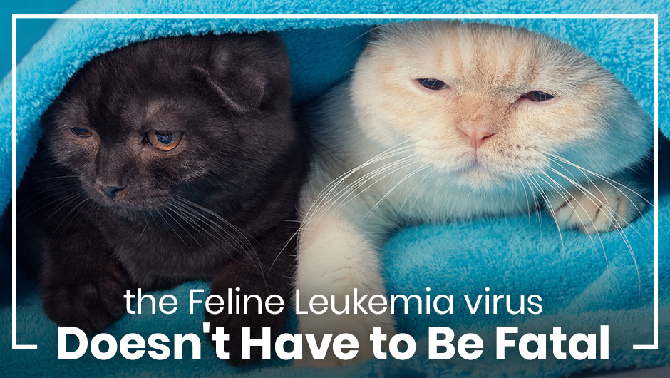 The Feline Leukemia Virus Doesn't Have to Be Fatal